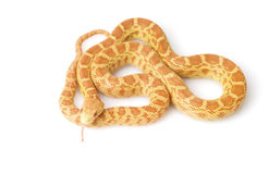 Albino Gopher Snake Stock Images