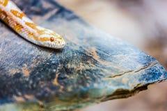 Albino Gopher Snake or Lambent python Stock Images