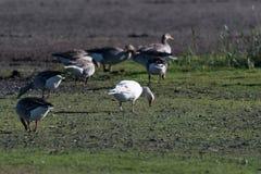 Albino Greylag Goose in a flock feeding geese Stock Image