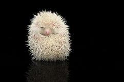 Albino Hedgehog en la tabla brillante oscura fotografía de archivo libre de regalías