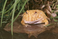 Albino horn frog (ceratophrys cranwelli) Royalty Free Stock Photo