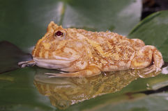 Albino horn frog (ceratophrys cranwelli) Royalty Free Stock Image