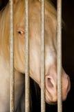 Albino Horse en establo Fotos de archivo
