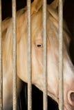 Albino Horse en establo Fotos de archivo libres de regalías