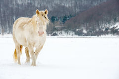 Albino horse with eyes blue Royalty Free Stock Images