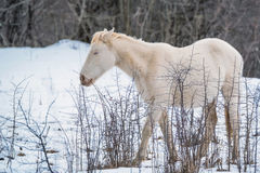 Albino horse grazing in winter Royalty Free Stock Photo