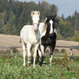 Albino horse with paint horse on pasturage Stock Photo