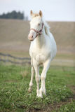 Albino horse with pink halter Stock Photography
