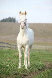 Albino horse with pink halter Royalty Free Stock Photography