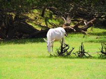 Albino horse. This rare albino horse eats grass in the mid day sun stock photo