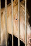 Albino Horse in stable Royalty Free Stock Photos