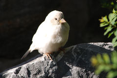Albino house sparrow Stock Image