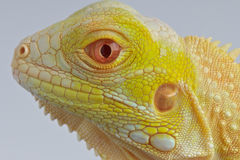 Albino Iguana. One of the most desired color morphed reptiles available today. The electric yellow albino iggy Royalty Free Stock Photo