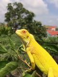 Albino iguana Royalty Free Stock Photo