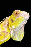 Albino Iguana (Iguana iguana) Royalty Free Stock Photo