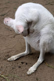 Albino Kangaroo Royalty Free Stock Photos