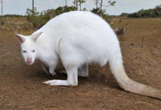 Albino Kangaroo Stock Photography