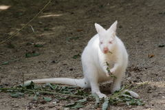 Albino kangaroo. Nature albino kangaroo eating foliage Royalty Free Stock Image