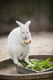 Albino Kangaroo Arkivbild