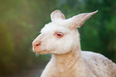 Albino kangaroo. An albino kangaroo against green nature background Stock Images