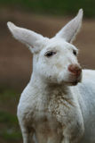 Albino Kangaroo Closeup Stock Photos
