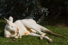 Albino Kangaroo Dozing. An albino kangaroo is content with life and lounges around in the afternoon sun royalty free stock image