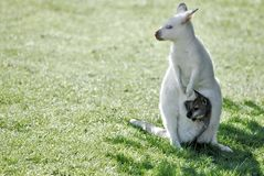 Albino kangaroo and its little. Albino kangaroo with its little in the pouch Royalty Free Stock Photos