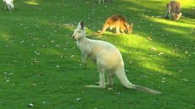 Albino Kangaroo, outro no fundo video estoque