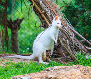 Albino kangaroo or Wallaby with red eyes Royalty Free Stock Photos