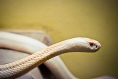 Albino king cobra is red eye royalty free stock photo