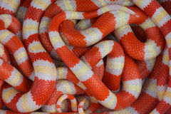 Albino Kingsnakes stock photos