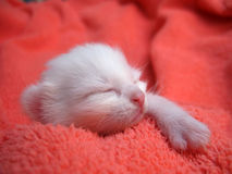 Albino kitten. Detail of the albino kitten Stock Image