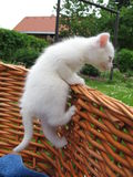 Albino kitten. The albino kitten in the basket Royalty Free Stock Image