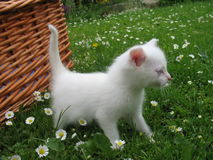 Albino kitten. In the garden Royalty Free Stock Photos