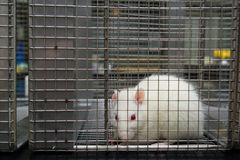 Albino lab rat (rattus norvegicus) trapped in cage Royalty Free Stock Images