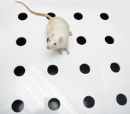 Albino laboratory rat looking on hole board Stock Photography