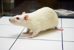 Albino laboratory rat looking on open field board Royalty Free Stock Photos
