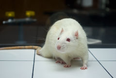 Albino laboratory rat looking on open field board Stock Image