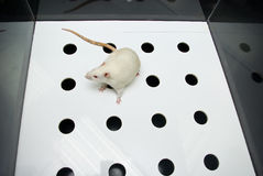 Albino laboratory rat moving while on hole board Royalty Free Stock Photo
