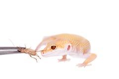 Albino Leopard Gecko op een witte achtergrond royalty-vrije stock fotografie