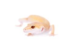 Albino Leopard Gecko op een witte achtergrond royalty-vrije stock foto