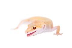 Albino Leopard Gecko op een witte achtergrond stock foto's