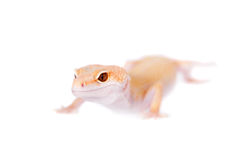Albino Leopard Gecko on a white background Stock Images