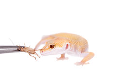 Albino Leopard Gecko on a white background Royalty Free Stock Photography