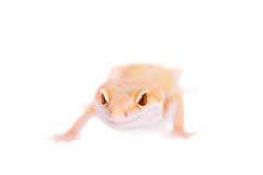 Albino Leopard Gecko on a white background Royalty Free Stock Photo