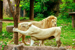 Albino lion on green grass backgorund in zoo Stock Images