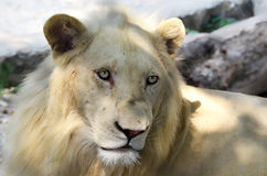 Albino lion Royalty Free Stock Photography