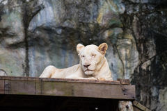 Albino lion Royalty Free Stock Photo