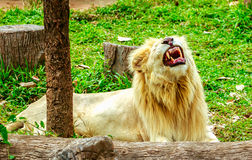 Albino lion sleep on green grass backgorund in zoo Royalty Free Stock Photography