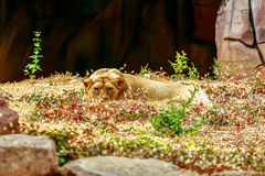 Albino lion sleep on green grass backgorund in zoo Stock Photos